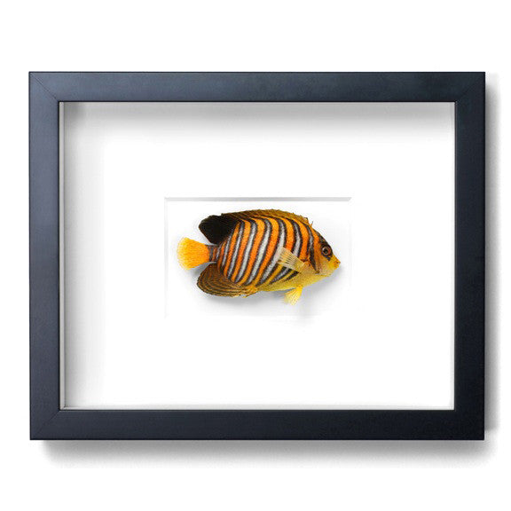 Regal Angelfish preserved by Christopher Marley with Pheromone Gallery available at Gold Bug