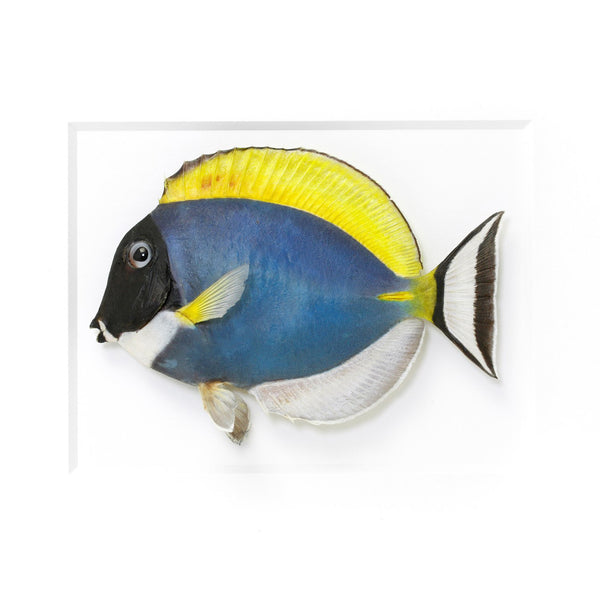 Surgeon Tang fish preserved by Christopher Marley with Pheromone Gallery available at Gold Bug