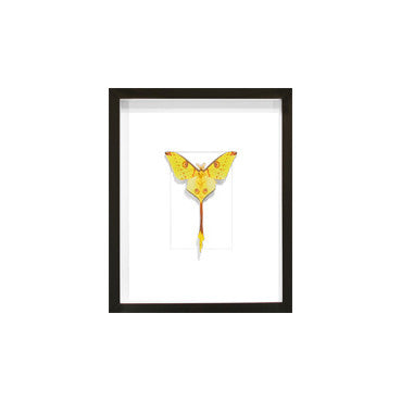 Christopher Marley Framed Giant Commet Moth Specimen