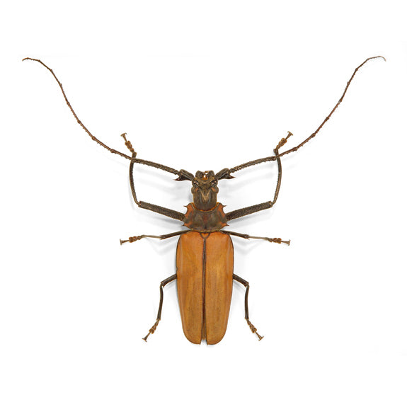 Armored Longhorn Insect Specimen