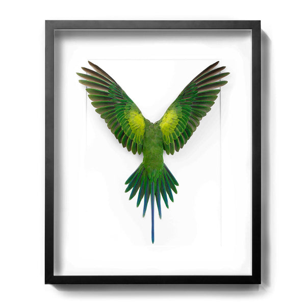 Christopher Marley framed Moustache Parrot speciment for the natural history lover. Taxidermy for the modern home.