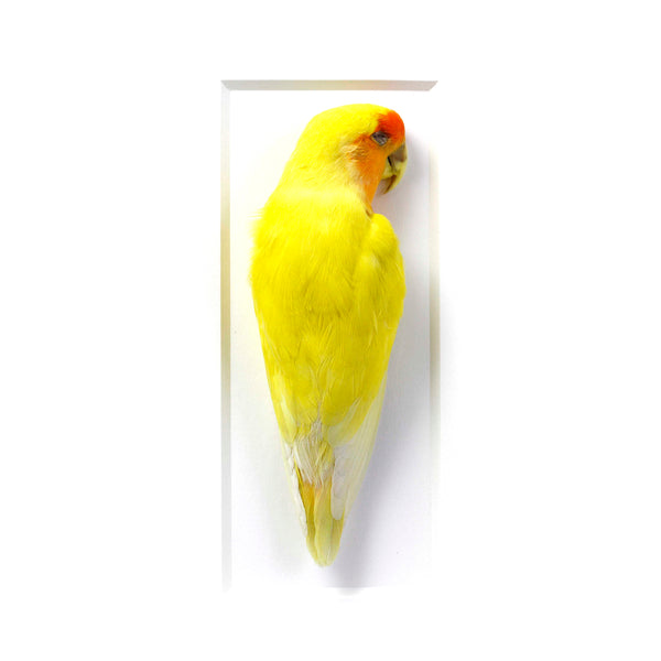 Christopher Marley framed Love Bird speciment for the natural history lover. Taxidermy for the modern home. Preserved Megasoma Beetle Specimen.