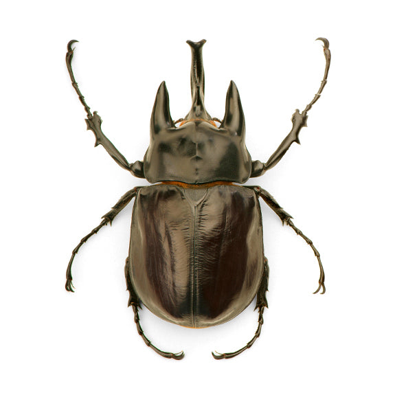 Christopher Marley framed insect speciment for the natural history lover. Taxidermy for the modern home. Preserved Megasoma Beetle Specimen.