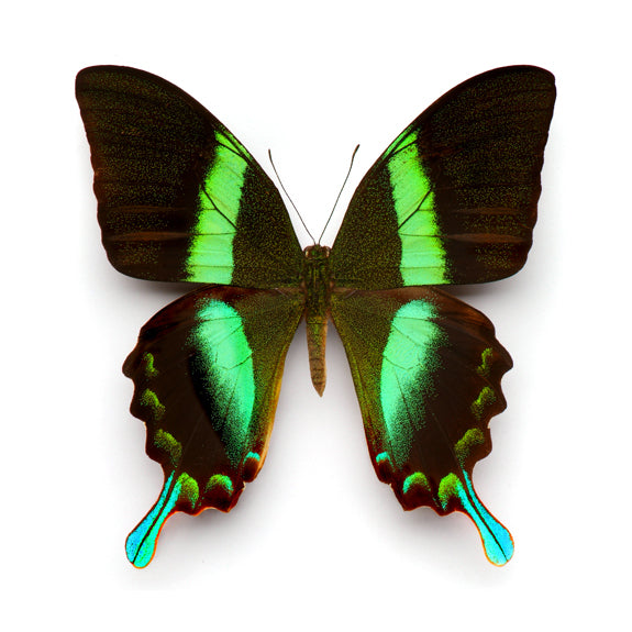 Christopher Marley framed insect speciment for the natural history lover. Taxidermy for the modern home.