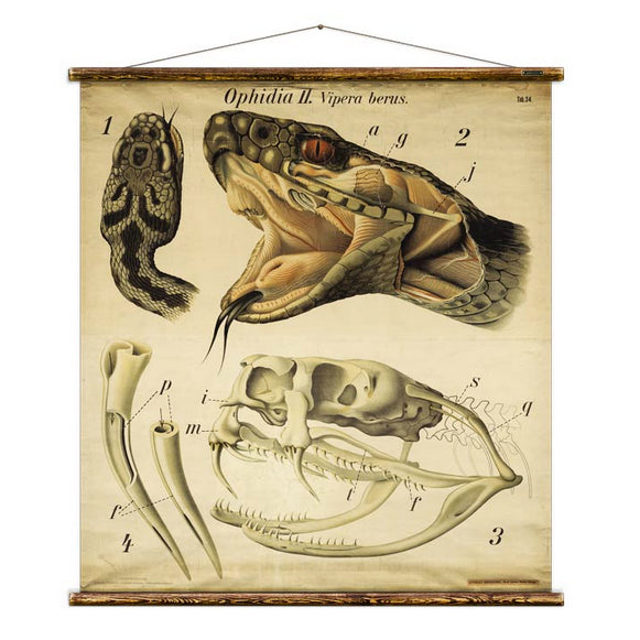 Educational Scientific Chart with Snake Anatomy drawing by Pfurtschuller
