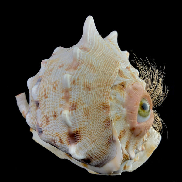 Curious Conch