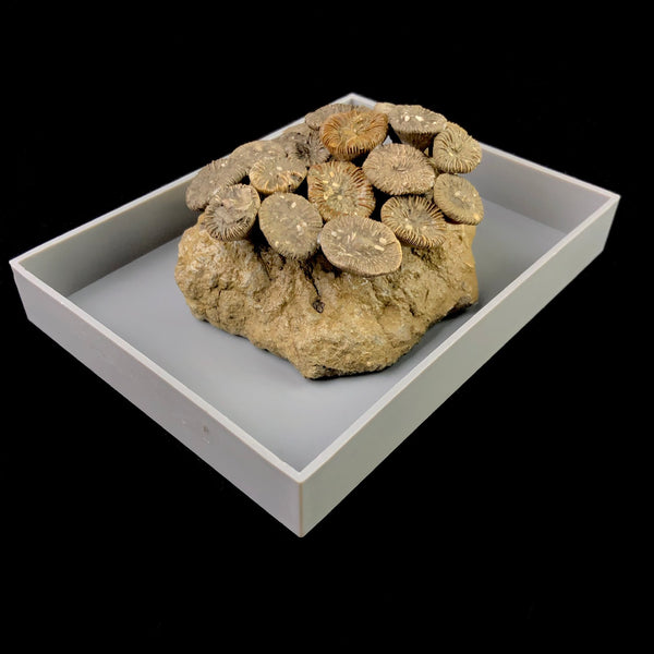 Fossilized Coral Colony