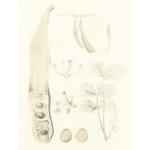 Carob Botanical illustration