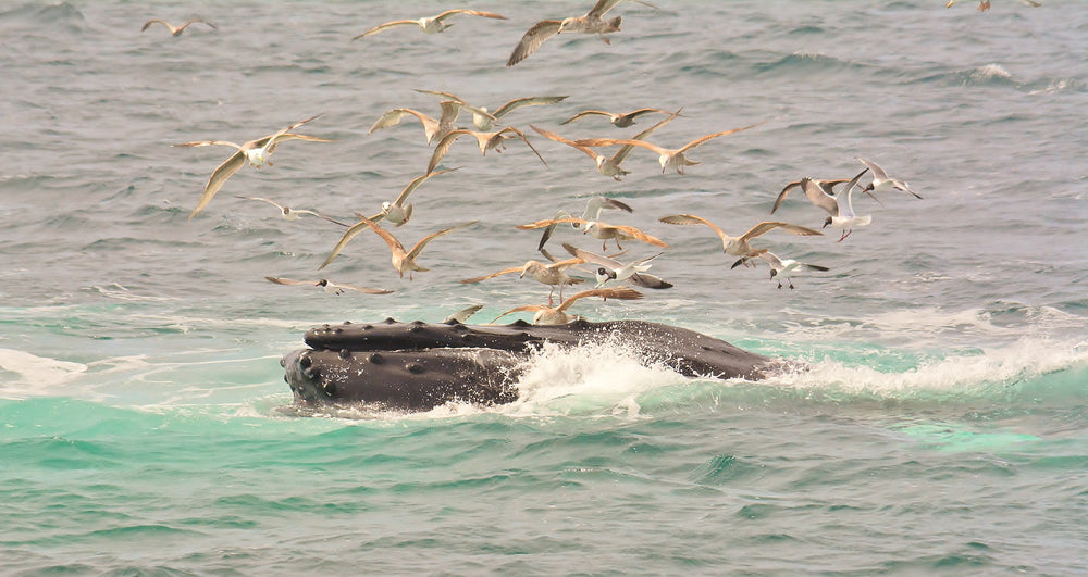 Humpback with Seagulls by Dan McKeon