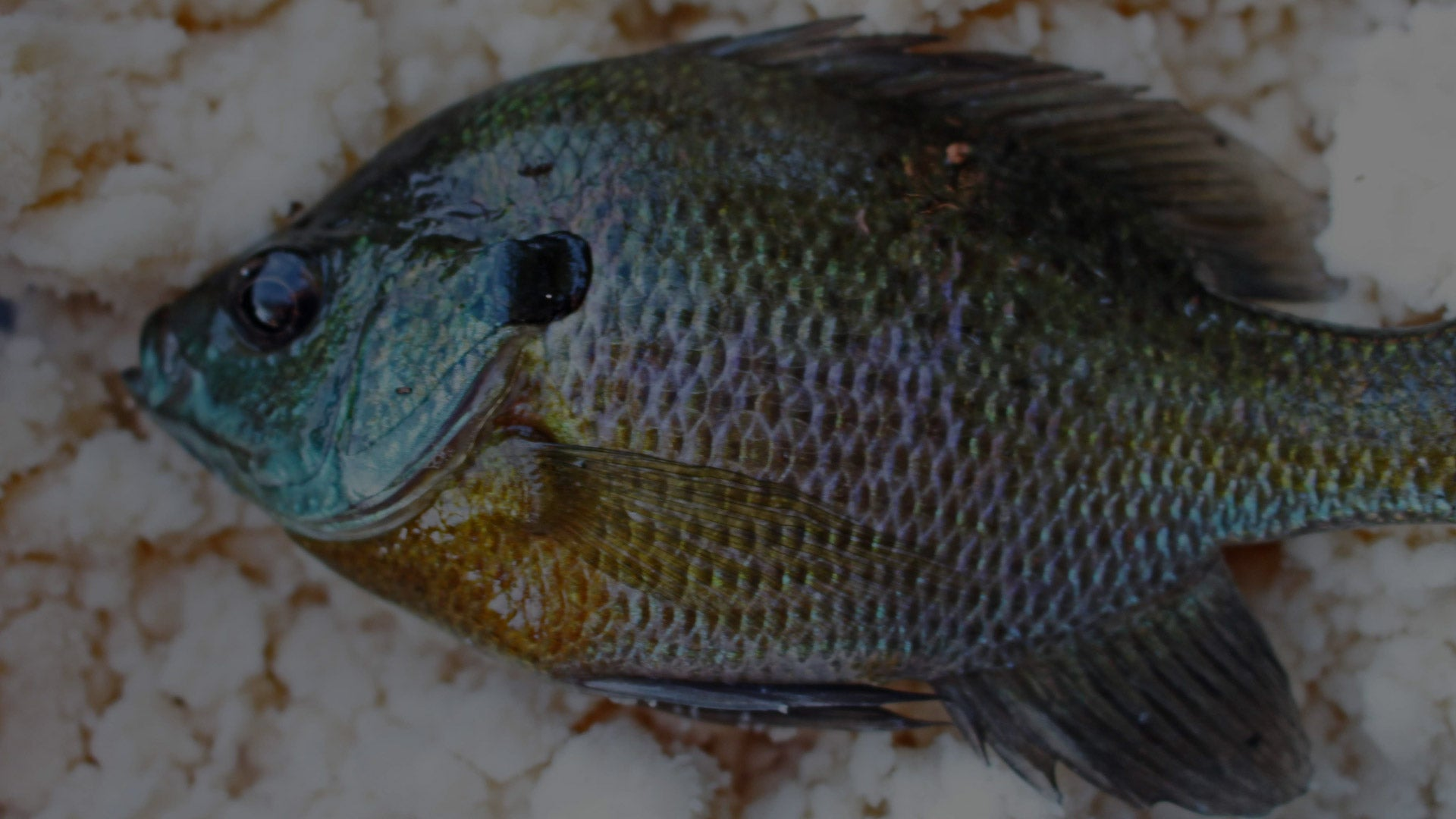 Panfishing 101: How to Catch Bluegill