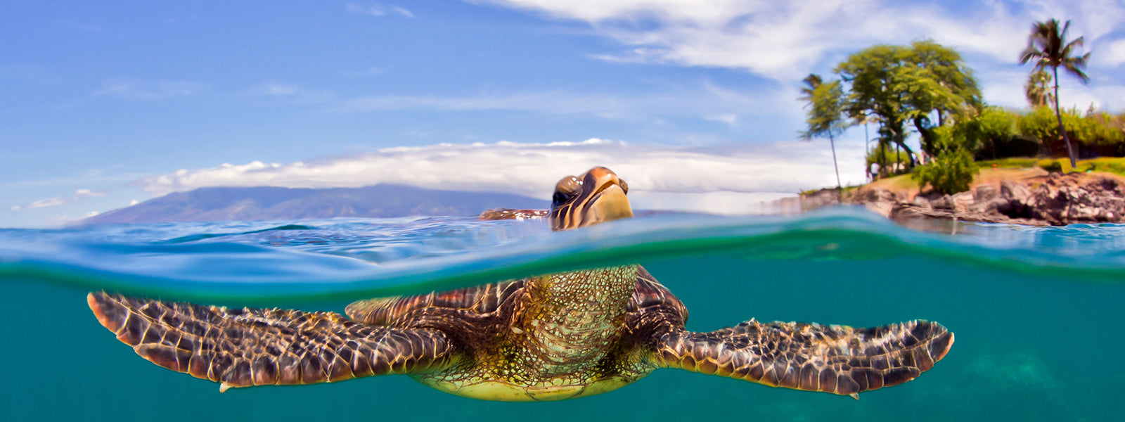 Breathe Turtle with head above water Cesere brothers