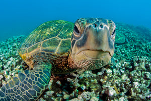 Honu Selfie Turtle Up Close Maui Hawaii