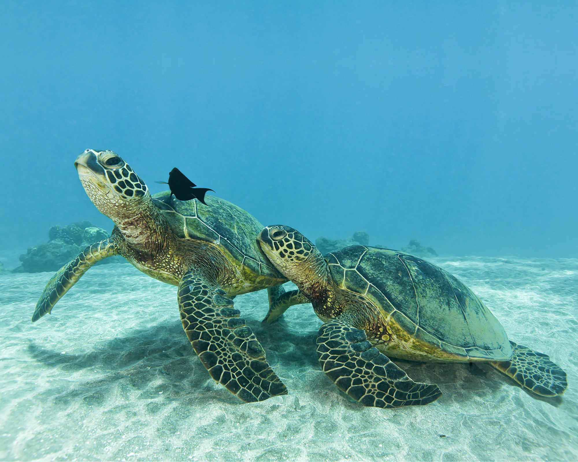 An underwater image of two turtles standing on the bottom of the ocean getting cleaned by some fish. The smaller turtle seems to be leaning on the larger one. The image was taken near Olawalu on Maui.