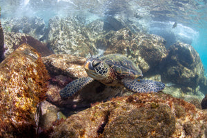 This underwater image of a turtle resting on some rocks was taken on Maui.