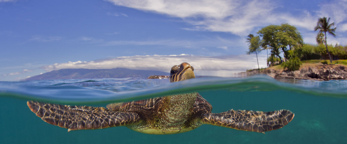 A beautiful over/under or split image of a turtle breathing at the surface. You can see the turtles head above water taking a breath with an island and palm trees in the background and you can also see the complete turtle underwater swimming. This image was taken on Maui.
