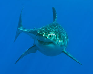 An underwater image of a Great White Shark swimming towards the camera taken at Guadalupe Island off of Mexico.