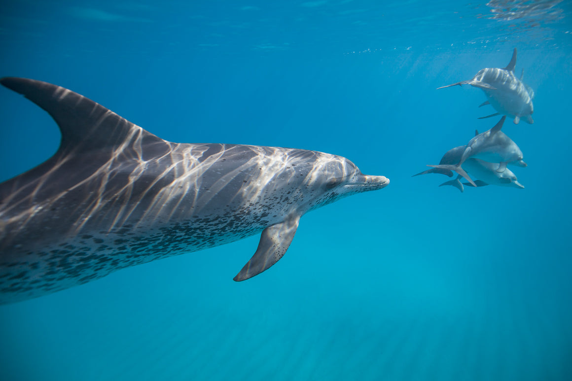 A group of spotted dolphins come close to the camera in the clear waters of the Bahamas.