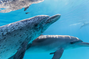 An adult spotted dolphin swims close to the camera with it's baby in the Bahamas