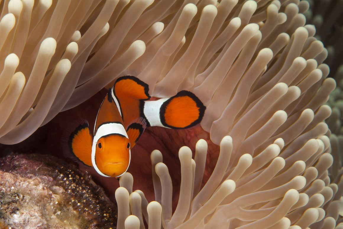 This male clown fish stands gaurd over his nest of babies on the Great Barrier Reef in Australia.