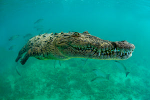 An underwater image of a crocodile swimming towards the camera taken at the Gardens of the Queen in Cuba.