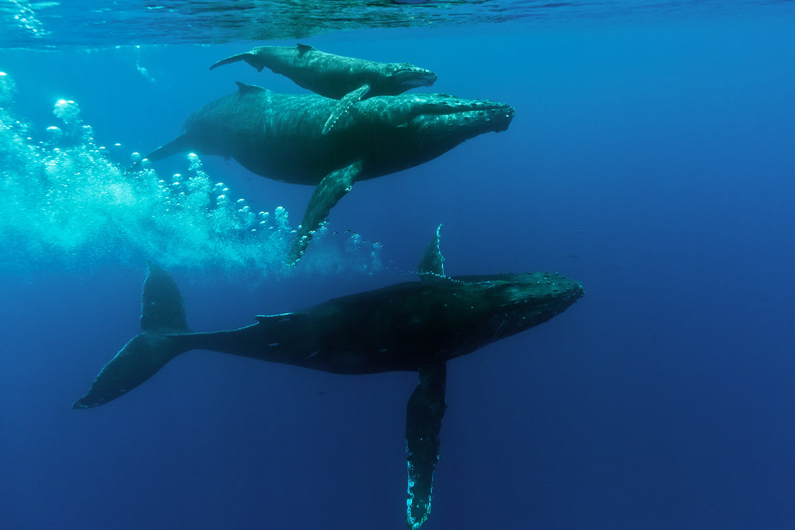 An image of a Mother, Calf and Escourt Humback Whales taken while doing research with the Kieki Kohola Project on Maui.