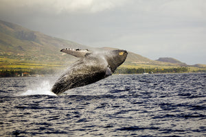 An image of a breaching Humback Whale taken on Maui, right in front of Lahaina Harbor.
