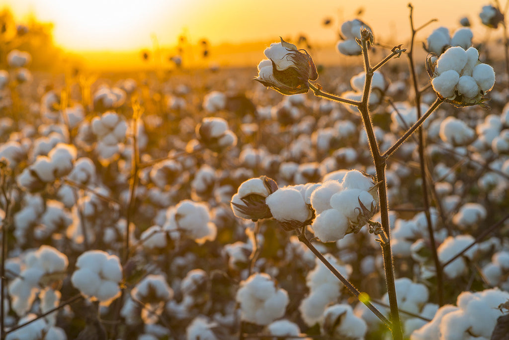organic cotton vs conventionally grown cotton