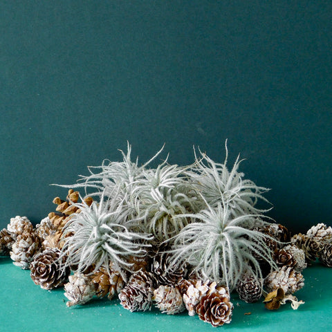 Air Plant Tectrum 'Snowy'