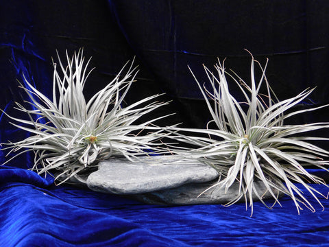 Air Plant 'Cotton Candy'