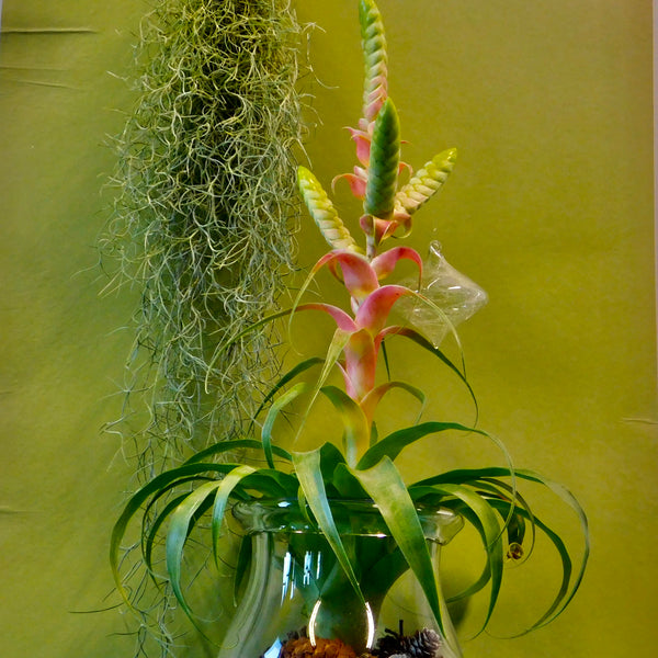 Air Plants   'Samantha'
