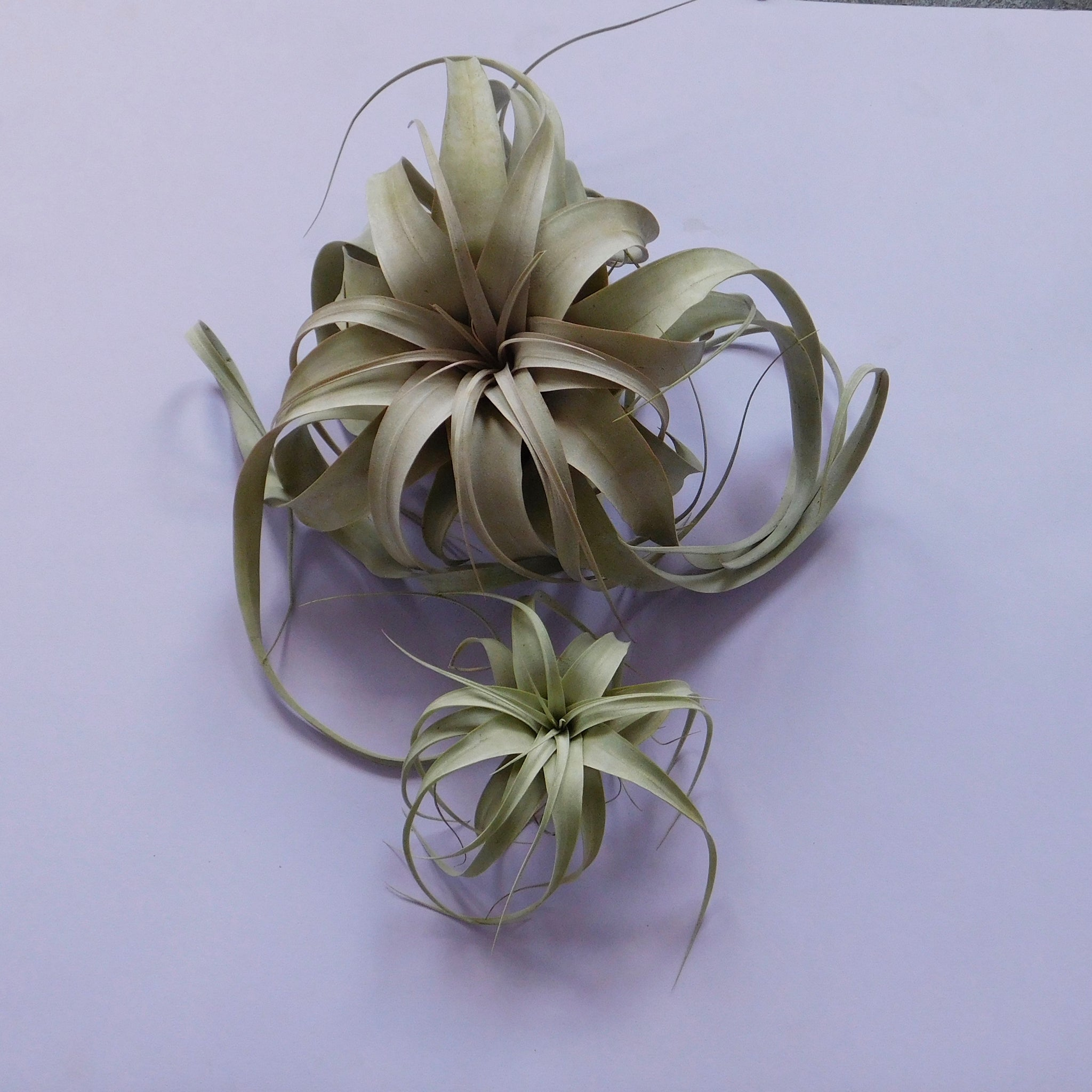 Air Plant Xerographica