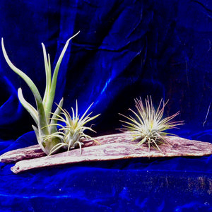 Wood & Air Plants
