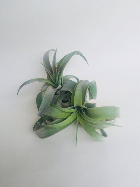 Air Plant Streptophylla