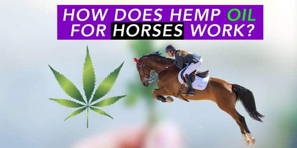 HORSE TREATMENT WITH HEMP OIL
