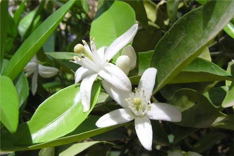 france-florihana-organic-neroli-essential-oil