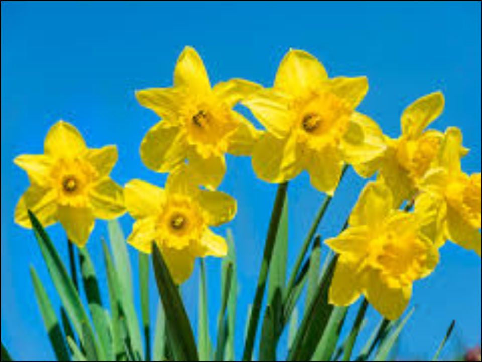 St David's Day Daffodils Edible Cake & Cupcake Toppers