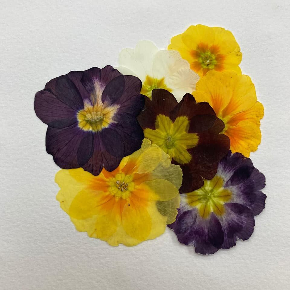 Edible Pressed Flowers - Primula