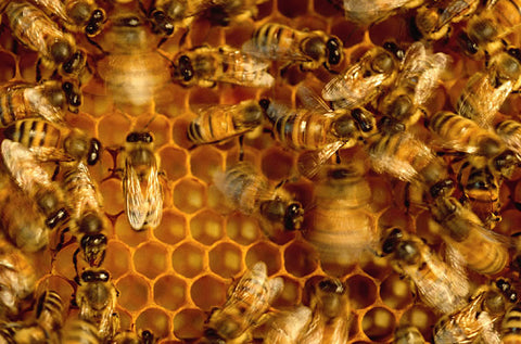 Honeybees performing a waggle dance to convince other scout bees to look at a potential nest site