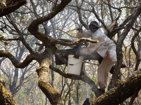 Honey being harvested from a bark hive in North West Zambia