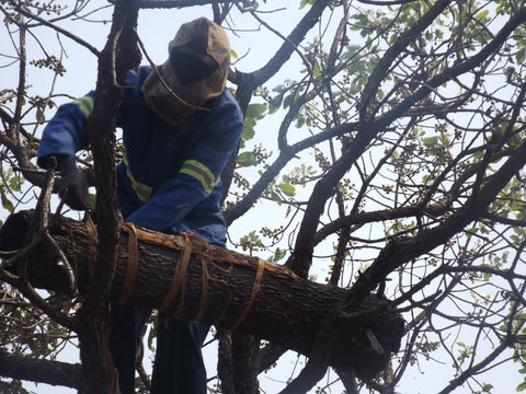 A tree bark hive being tied in a tree with bark rope