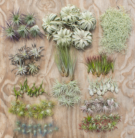Wholesale Air Plant Starter Bundle With Color