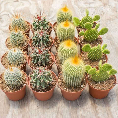 "Cactus 3"" - 16 Assorted Pack ($1.75/ea)"