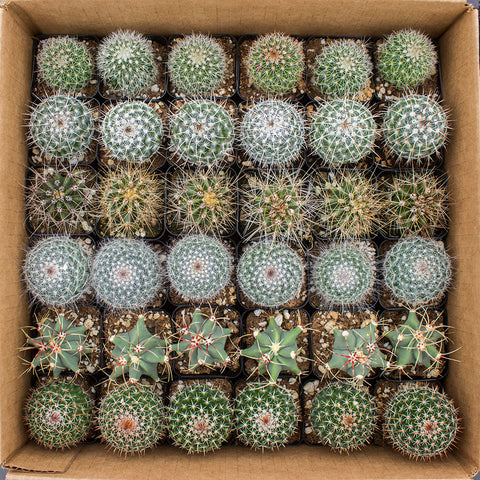 "Cactus 2"" - 36 Assorted Pack ($1.25/ea)"