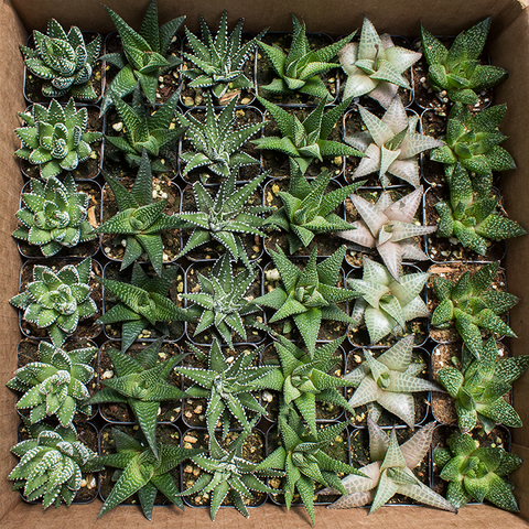 "Haworthia 2"" - 36 Pack Assorted ($1.15/ea)"