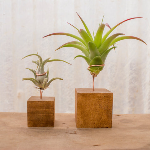 Air Plants Stands