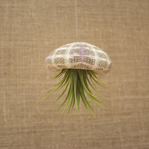 Hanging Striped Urchin with Plant (Large)