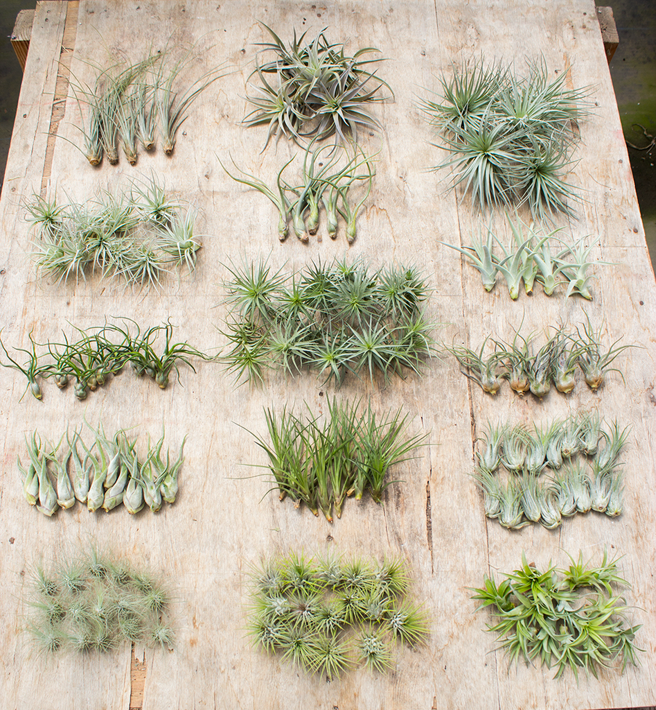 Wholesale Air Plant All Natural Small and Medium Bundle