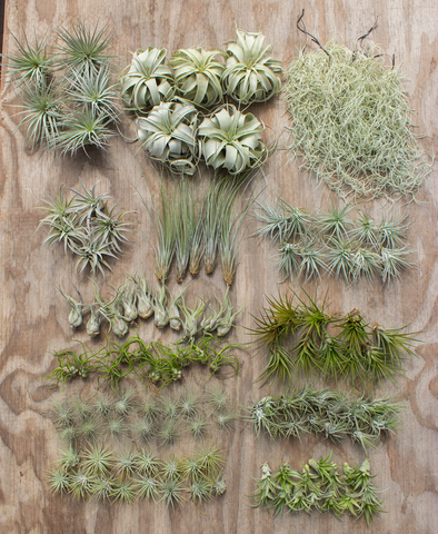 Wholesale Air Plant All Natural Starter Bundle