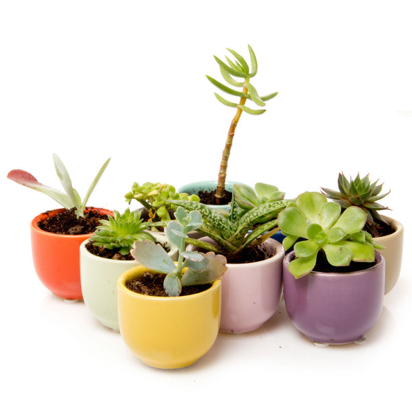 Succulent Cup - Kit - Chive Wholesale
