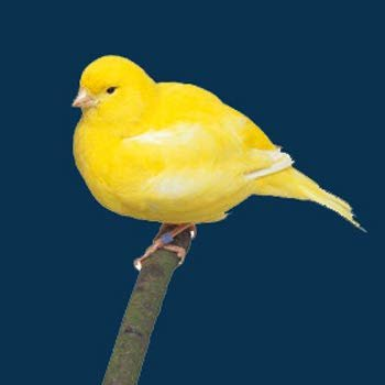 Birds LOVE Manitoba Alpiste 100% Natural and Cleaned Canary Seeds 5 lbs